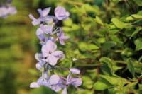 Garten-Ausläufer-Flammenblume Blue Ridge • Phlox stolonifera Blue Ridge