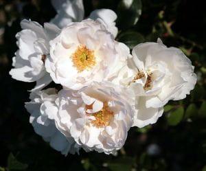 Rose Hella • Rosa Hella