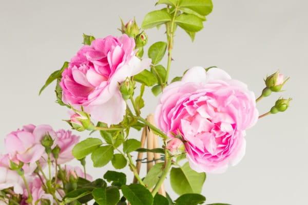 Rose Jasmina • Rosa Jasmina ®
