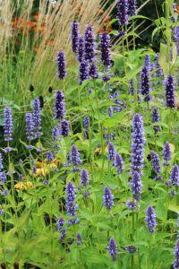 Garten Duftnessel Black Adder • Agastache rugosa Black Adder