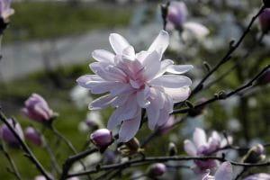 Rosa Sternmagnolie • Magnolia stellata Rosea