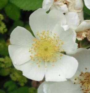 Feldrose • Rosa arvensis