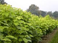Trompetenbaum Aurea • Catalpa bignonioides Aurea