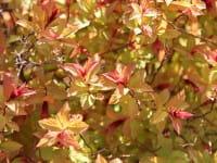 Sommerspiere Magic Carpet • Spiraea japonica Magic Carpet