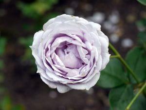 Rose Novalis • Rosa Novalis