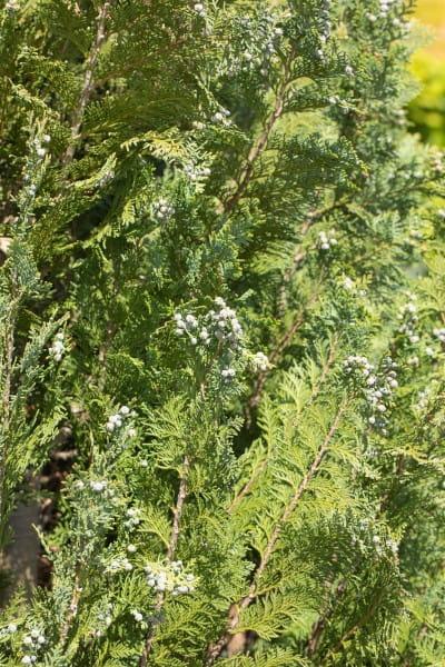 Gartenzypresse Darts Blue Ribbon • Chamaecyparis lawsoniana Darts Blue Ribbon