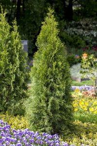 Abendländischer Lebensbaum • Thuja occidentalis