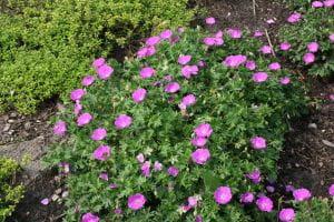 Garten-Blut-Storchschnabel • Geranium sanguineum Max Frei