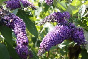 Sommerflieder Reve de Papillon Blue • Buddleja davidii Reve de Papillon Blue