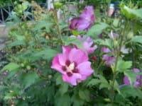 Rosen-Eibisch Pink Giant • Hibiscus Pink Giant