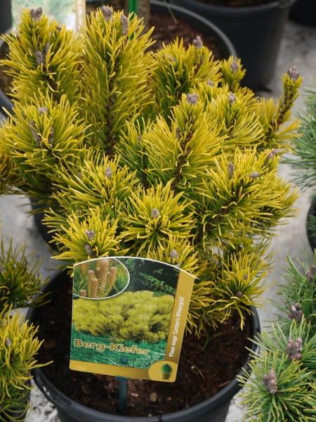 Berg-Kiefer Carstens Wintergold • Pinus mugo Carstens Wintergold