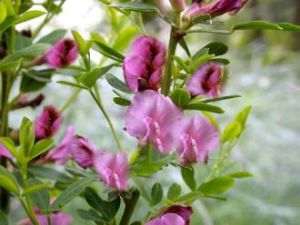 Purpurginster • Cytisus purpureus