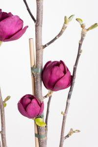 Magnolie Black Tulip • Magnolia Black Tulip