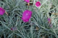 Garten-Pfingst-Nelke Feuerhexe • Dianthus gratianop Feuerhexe