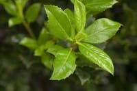 Ganzrandige Stechpalme • Ilex aquifolium J.C. van Tol