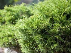 Grüner Prachtwacholder • Juniperus media Mint Julep