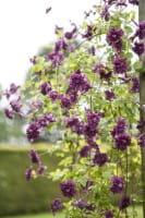 Waldrebe Purpurea Plena Elegans • Clematis viticella Purpurea Plena Elegans