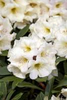 Rhododendron Golden Melodie • Rhododendron yakushimanum Golden Melodie