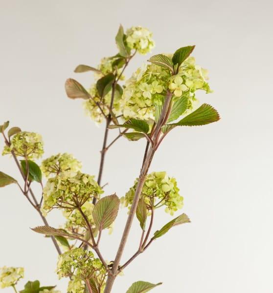 Schneeball Rotundifolia • Viburnum plicatum Rotundifolia