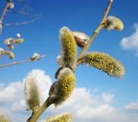 Männliche Salweide • Salix caprea Mas