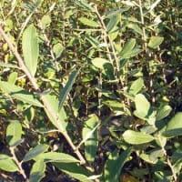 Aschweide • Salix cinerea