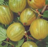 Stachelbeere Invicta • Ribes uva-crispa Invicta