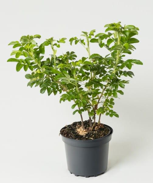 Heckenrose Apfelrose • Rosa rugosa