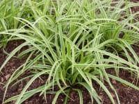Weißrandige Garten-Segge • Carex foliosissima Icedance