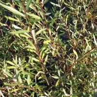 Kugelweide • Salix purpurea Nana