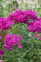 Hohe Garten-Flammenblume Düsterlohe • Phlox paniculata Düsterlohe