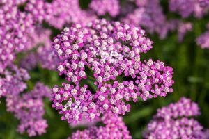 Garten Schaf Garbe • Achillea millefolium Lilac Beauty