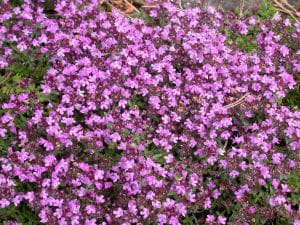 Garten-Thymian Magic Carpet • Thymus serpyllum Magic Carpet