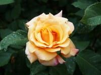 Rose Caramella ® • Rosa Caramella ®