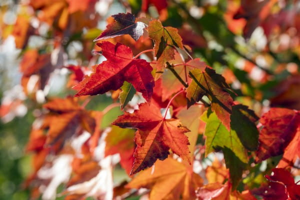 Rotahorn Brandywine • Acer rubrum Brandywine