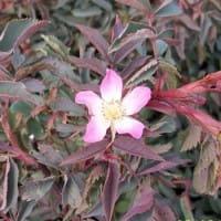 Blaue Hechtrose • Rosa glauca - Wildrose