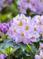 Rhododendron Mrs.Anthony Waterer • Rhododendron Hybride Mrs. Anthony Waterer