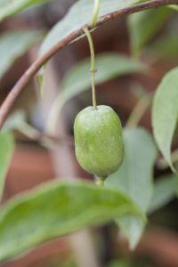 Kiwi Issai selbstfruchtend • Actinidia arguta Issai