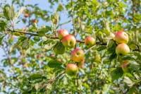Apfel Grahams Jubiläumsapfel • Malus Grahams Jubiläumsapfel