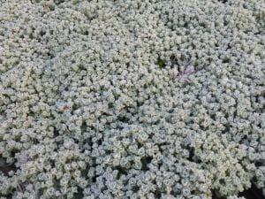 Garten-Fettblatt Cape Blanco • Sedum spathulifolium Cape Blanco