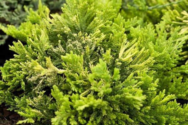 Teppichwacholder Golden Carpet • Juniperus horizontalis Golden Carpet