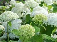 Ballhortensie Annabelle • Hydrangea arborescens Annabelle