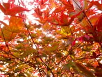 Roter Fächerahorn Bloodgood • Acer palmatum Bloodgood