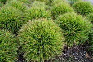 Garten-Hainsimse Igel • Luzula pilosa Igel