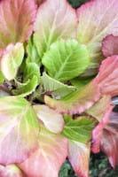 Garten Bergenie Abendglut • Bergenia cordifolia Abendglut