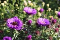 Garten Raublatt Aster • Aster novae-angliae Purple Dome