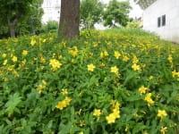 Kelchiges Johanniskraut • Hypericum calycinum