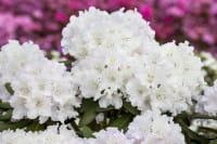 Rhododendron Schneekrone • Rhododendron yakushimanum Schneekrone