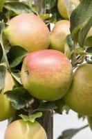 Apfel Pfirsichroter Sommerapfel • Malus Pfirsichroter Sommerapfel