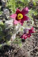 Rotblühende Garten-Kuhschelle Rubra • Pulsatilla vulgaris Rubra