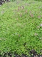 Garten-Thymian • Thymus serpyllum
